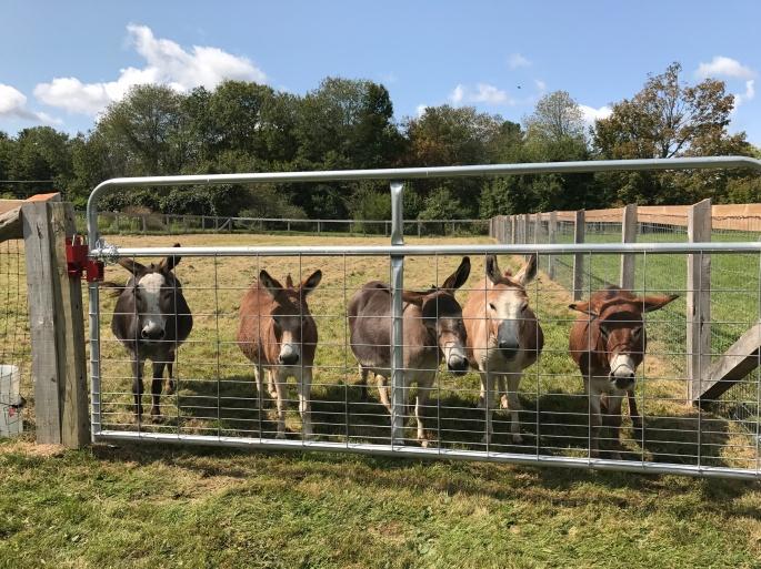 Miniature donkeys .JPG